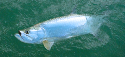 March 21 Tarpon